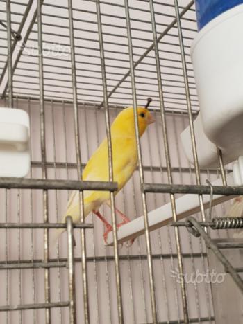 Coppia canarini giallo intenso 2017