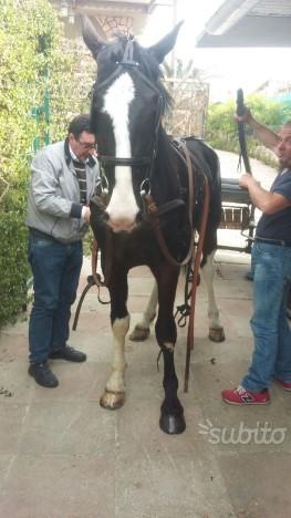 Cavallo kpwn olandese