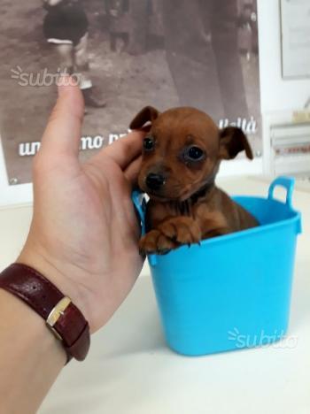 Cucciola di pinscher pincher veramente nana