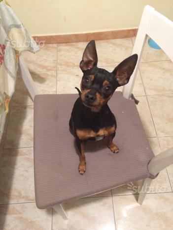 Pinscher toy da regalare