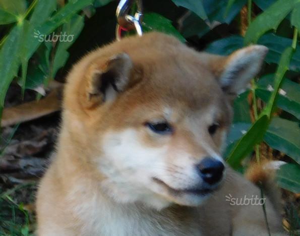 Importanti Cuccioli di Shiba Pedigree ENCI