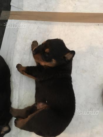Cuccioli Rottweiler