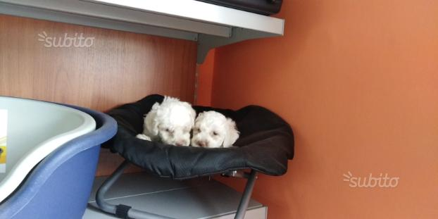 Barboncino maltese cuccioli