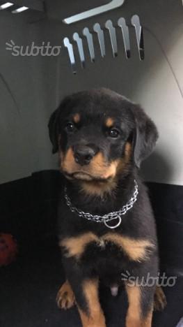 Cucciolo Rottweiler per expo