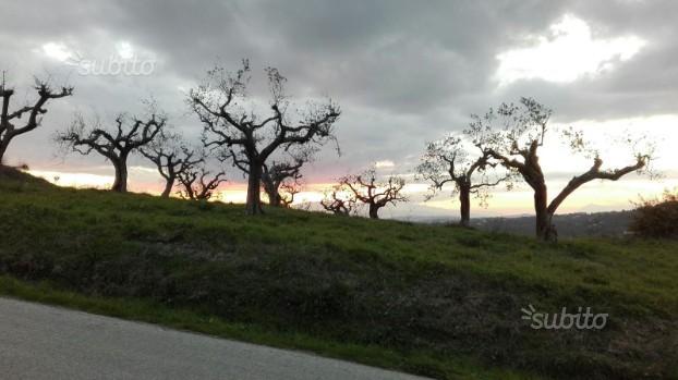 Terreno agricolo con ulivi secolari