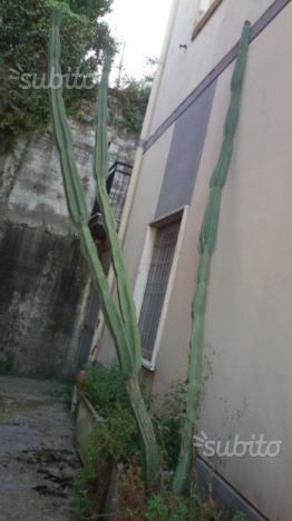Pianta grassa ( Cereus peruvianus )