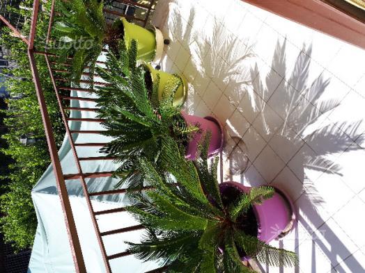 Piante di Cycas in vasi colorati