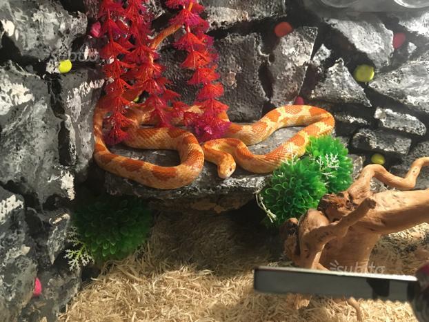 Serpenti più teche , falso corallo e elaphe