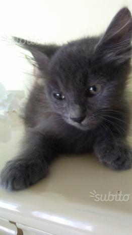 Gattini maschi Angora turco