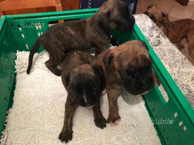 Cuccioli Boxer