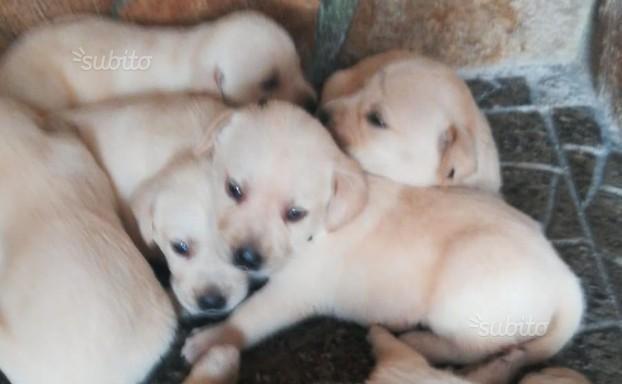 Cuccioli labrador color miele