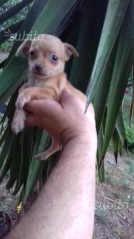 Chihuahua Fulvo piccolo