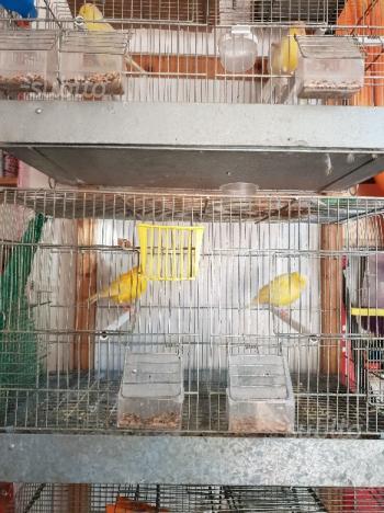 Uccelli più gabbie