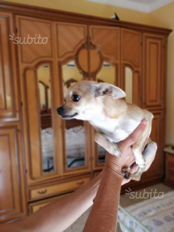 Chihuahua, ciwawa,cihua