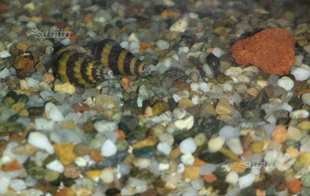 Lumache killer per acquario