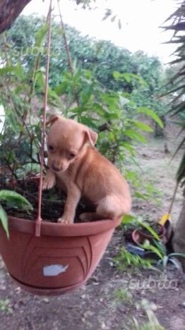Piccolo piccolo chihuahua