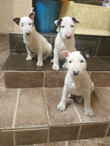 Splendidi Cuccioli Di Bull Terrier