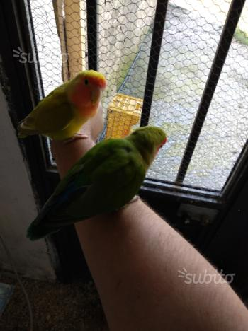 Coppia inseparabili allevati a mano