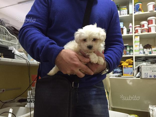 "Cucciolo MALTESE ""mini mini mini toy"" italiano"