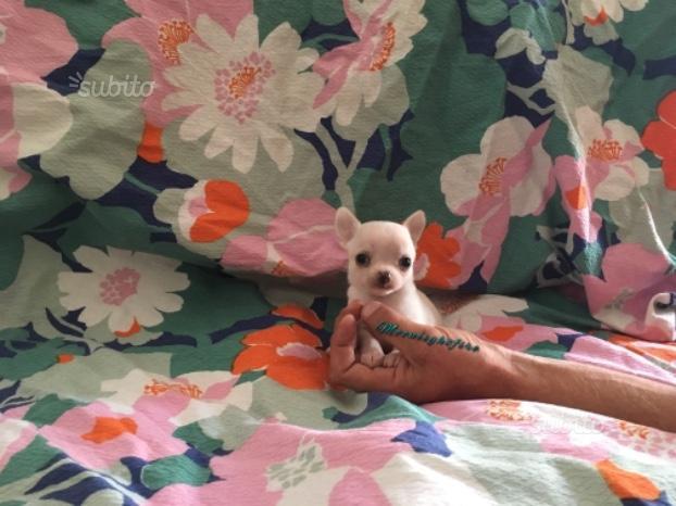 Chihuahua cucciolo bianco
