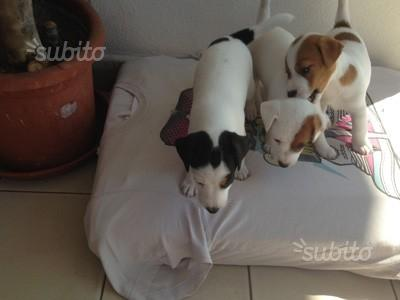 Splendidi cuccioli Jack Russell