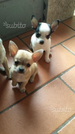 Chihuahua maschio Toy 2 mesi