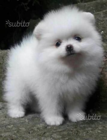 Pomerania toy spitz