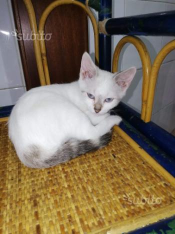 Gattina simil siamese 4 mesi in adozione