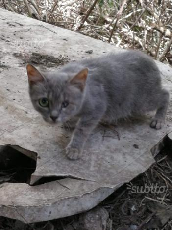 Gattino simil certosino maschio 2 mesi