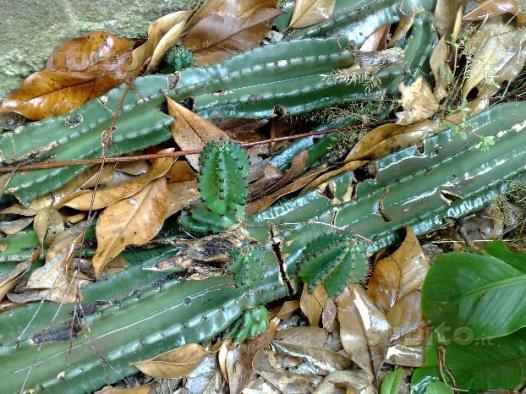 Piante cactus