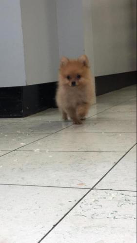 Lieve Dwergkees pups zoeken een leuk baasje