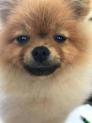 Prachtig Teefje Pomeranian/Pomeriaan/Dwergkeesje FCI