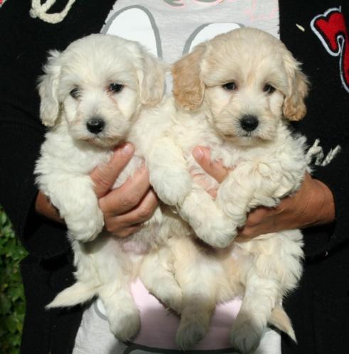 Schitterende maltipoo pups (Maltezer x Dwerg poedel)
