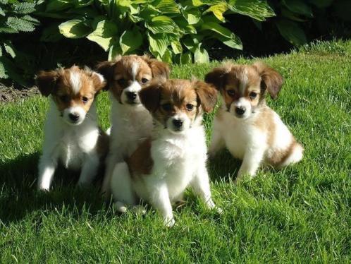 Hele mooie KOOIKER pups