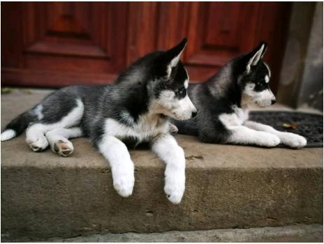 Husky pups beschikbaar