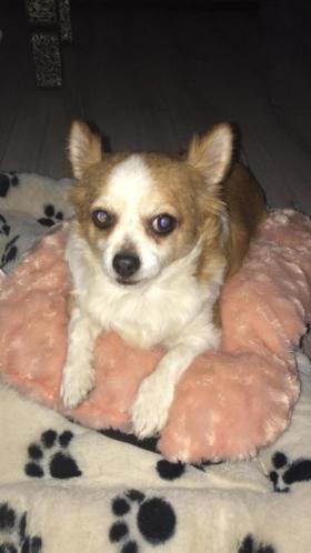 Chihuahua 6 jaar mannetje