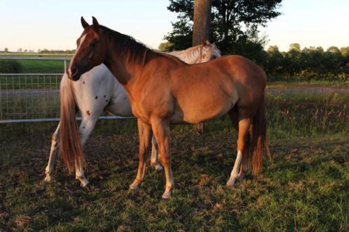 Prachtige 3 jarige quarter horse solid paint