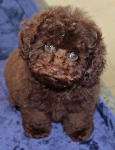 Choco dwerg poedel pups