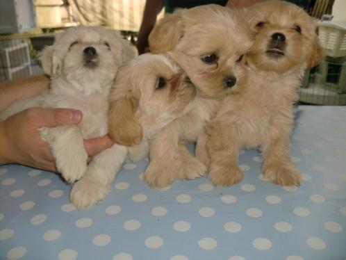 Shih-Tzu netsje 6 pups kunnen nu weg Super nest Uniek karakt