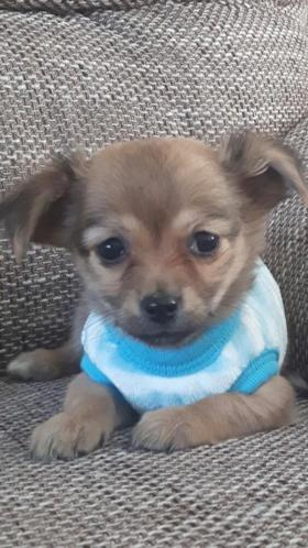 Chihuahua langhaar mag vandaag mee ( Teefje )