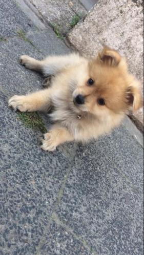Keeshond pup