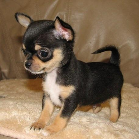 chihuahua puppies micro & t.cup & mini raszuiver toppertjes