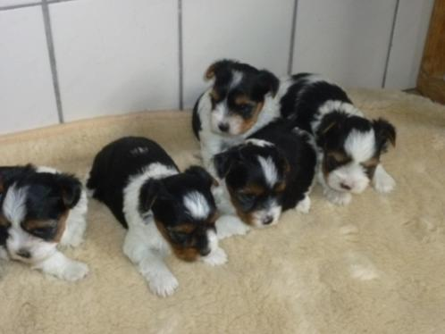 biewer pups