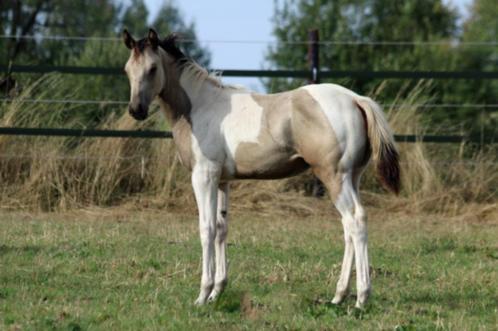 Paint Horse veulens