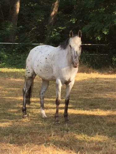 recreatie paard-pony te koop